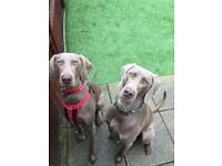 KC Registered Weimaraner Puppy for sale last remaining girl