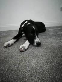 5 month old Lurcher