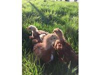 Warren chicken chicks