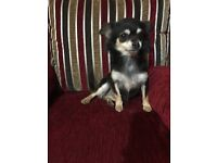 Gorgeous Female chihuahua and a female chihuahua/ poodle adult
