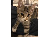 Male Tabby Kitten 12 Weeks Old Litter Trained