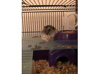 Russian Dwarf Hamster starter pack