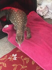 Bosc monitor (very tame)