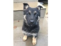 german shepherd pups for sale READY TO LEAVE