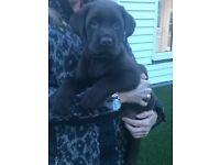 Chocolate & yellow pedigree Labrador puppies