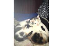 lovley kittens with great markings