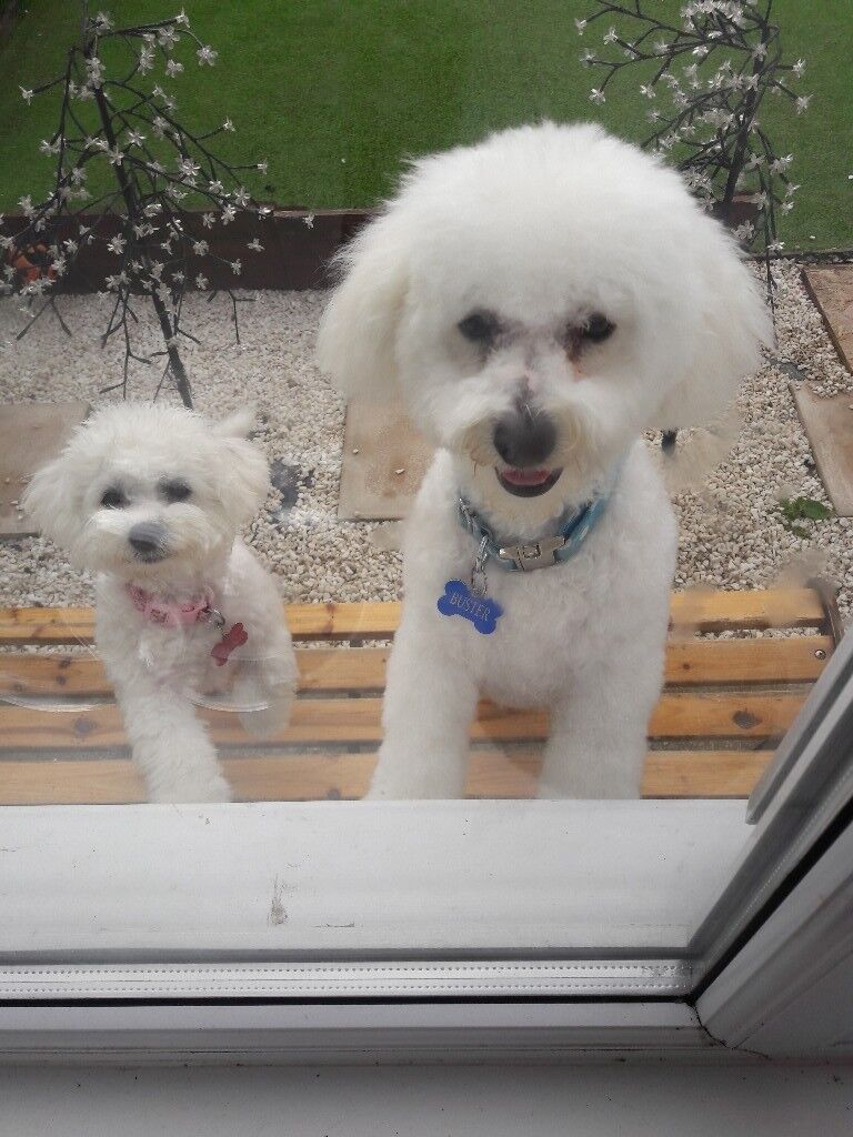 2 bichon frise boy and girl | in Seaham, County Durham | Gumtree