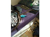 2 Large adult female ball python