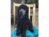 Stunning Silver Standard Poodle Puppies
