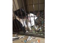 1 male Staffordshire bull terrier left!