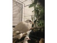 White Java Dove's