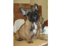 KC french bulldog puppies first injection and chipped and vet checked ready to go reduced