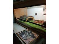 Royal Python female