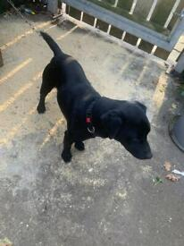 Male patterdale terrier