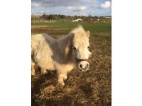 Shetland Ponies looking for a new home