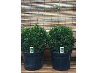 Buxus Sempervirens Box plant