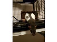 Young male pet rats with big cage and other important essentials!