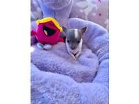 Chihuahua Puppies 🐶