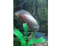 large oscar fish
