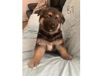 German Shepherd Full Pedigree Puppies