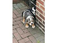 Old tyme English bulldog