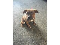 10 week old girl staffy cross puppy for sale