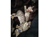 Full pedigree Beautiful baby Bengals..2 boys available only