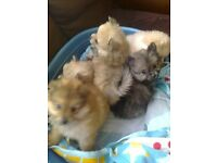 Small Pedigree Pomeranian, REDUCED to sell