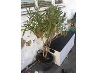 Oleander plant for sale