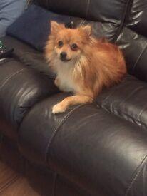 Tan female Pomeranian for sale, 18 months