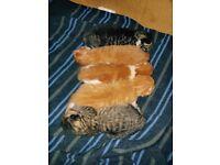 Ginger and Tabby kittens