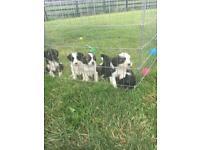 Tibetan Terrier Pups