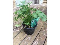 Coriander Plants 9cm pot 15-20cm high