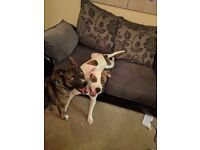 18month Female American Bulldog Cross Boxer