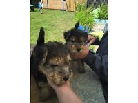Quality Lakeland Terrier Pup For Sale. Excellent value.