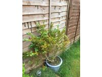 2 large garden shrubs in glazed pots