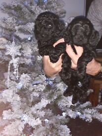 addorable f1b cockerpoo puppys for sale