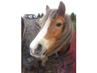 12.2 welsh Pony free/ for loan