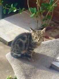 Tabby kitten x2