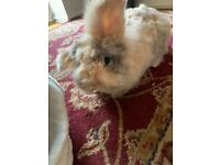Lion head lop bunny + cage for sale