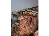 Urgent rehoming, dwarf retic needs new home asap