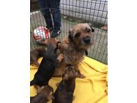 Border terrier puppys