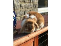 Two lop does