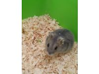 Giving away hamster for free