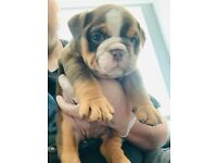 Kc English bulldogs 6 males available