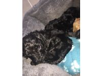 Perfect F1 Cockapoo puppies READY NOW!
