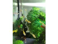 Guppies - between 1 & 3 months old. Tropical fish
