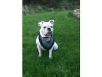 English Bulldog needs forever home