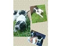 Spaniel x puppies