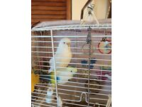 Bird and cage with stand ,white budgie approx.1and half years old .plus extras .